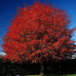 oak-with-red-leaves-425x425